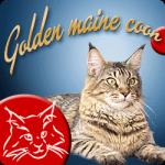 SI* GOLDEN MAINE COON