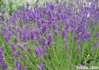 Sivka / lavanda (sadike do 1m)