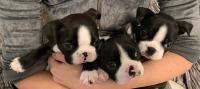 BOSTON TERRIER, BOSTON TERJER, BOSTON TERIER